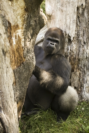 Gorilla , channel island Uk, Guernsey Stock Photo