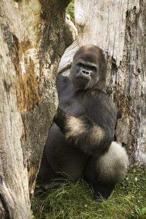 Gorilla , channel island Uk, Guernsey Stock Photo
