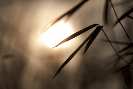 Bamboo leaves in sunset or sundown