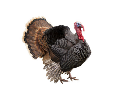 turkey isolated on the white background