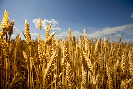Grain ready for harvest growing in a farm field Stock Photo