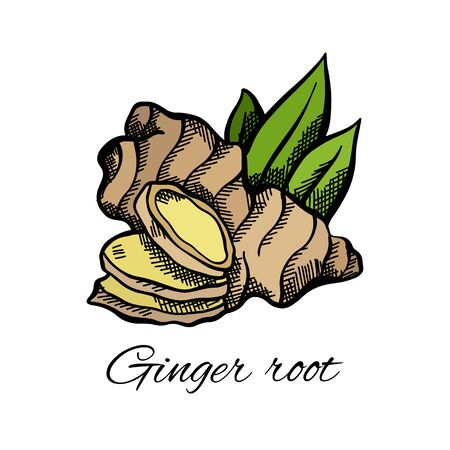 Color sketch of ginger root and leaves with the inscription on white background. Engraving illustration with hatching. Healthy food. Vector object for menus, articles, recipes, labels and your design