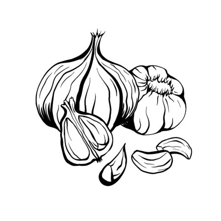 Outline sketch garlic illustration. Antibacterial product for health. Useful seasoning for cooking. Natural spice. Vector contour element for menus, recipes, banners and your design.