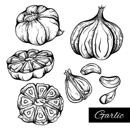 Set of sketch garlic illustration in various type. Antibacterial product for health. Useful seasoning for cooking. Natural spice. Vector engraving element for menus, recipes, banners and your design.