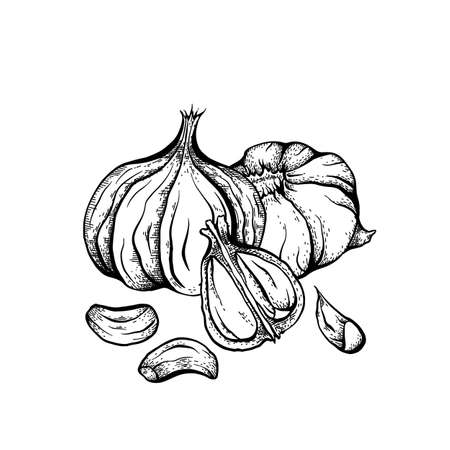 Sketch garlic illustration. Antibacterial product for health. Useful seasoning for cooking. Natural spice. Vector engraving element for menus, recipes, banners and your design.