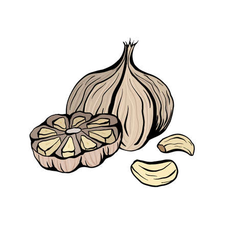 Colorful sketch garlic illustration. Antibacterial product for health. Useful seasoning for cooking. Natural spice. Vector outline color element for menus, recipes, banners and your design.