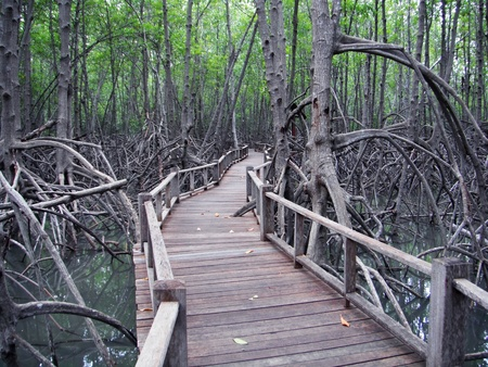 Boardwalk through the mangrove forest in Thailand photo