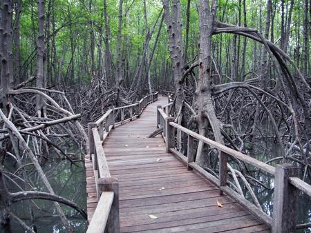 Boardwalk through the mangrove forest in Thailand photo