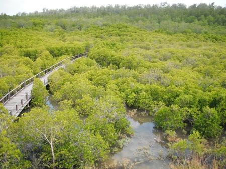 Mangrove forest area in Pran Buri Forest Park, Prachuap Khiri Khan, Thailand Stock Photo - 11122768