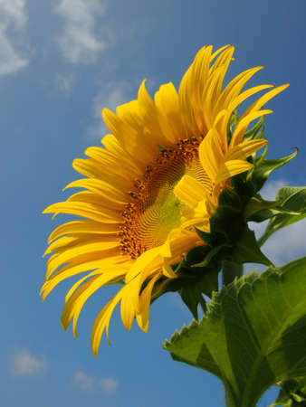 Sunflower in the sunny day photo
