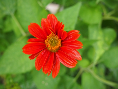 compositae: a little red sunflower  COMPOSITAE family  on green background Stock Photo