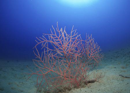 gorgonian: red gorgonian expanse of sand
