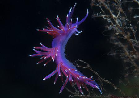 invertebrate: a small purple invertebrate slips on the seabed Stock Photo