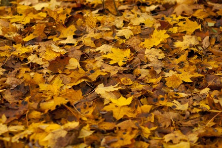 Colorful autumn leaves. Background group autumn orange leaves. Outdoor.
