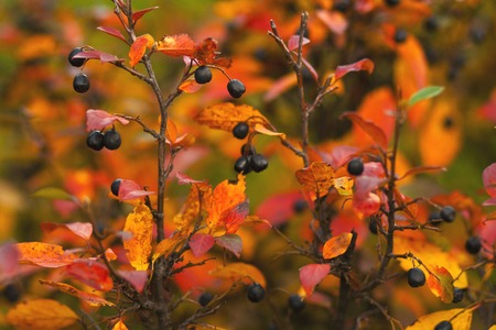 Branches with ripe berries and bright colorful leaves in autumn. Stock Photo