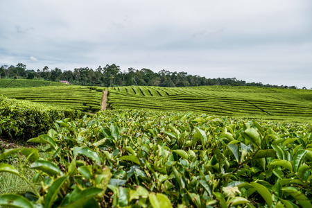 Tea Garden in Bah Butong North Sumatera