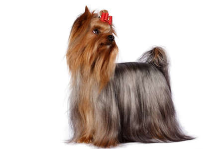 pure blooded: Yorkshire Terrier Portrait on white background.
