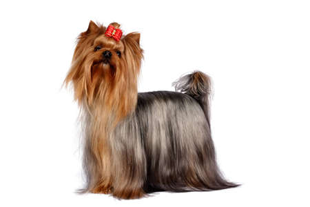 Yorkshire Terrier Portrait on white background. photo