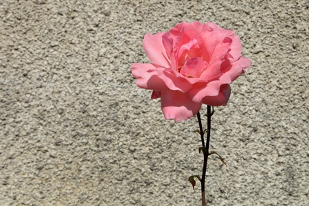 Pink rose on a background of gray stone wall