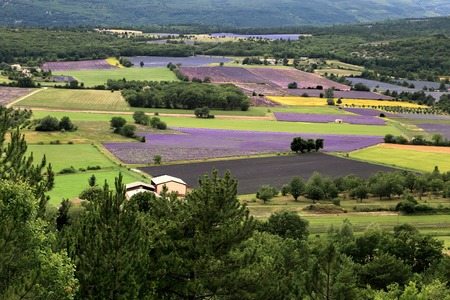 faboideae: Blooming field of Lavender, Provence-Alpes-Cote d Stock Photo