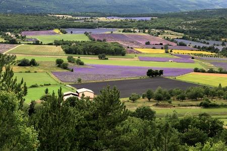 faboideae: Campo di lavanda in fiore, Provenza-Alpi-Costa Archivio Fotografico