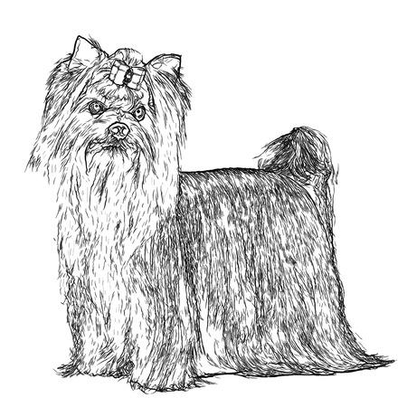 yorkshire terrier: Yorkshire Terrier Portrait