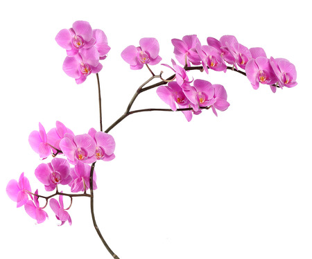 pink orchid: Branch pink orchid on white background Stock Photo