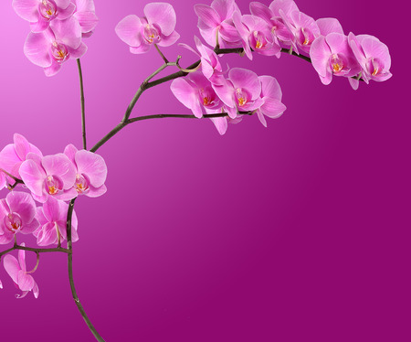 pink orchid: Branch pink orchid on gradient