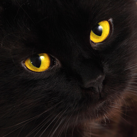 pets background: Black cat looking to you with bright yellow eyes