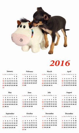 toyterrier: 2016 Calendar.  Toy-terrier puppy with toy. Stock Photo