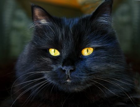 ojos negros: Gato negro que mira a usted con ojos amarillos brillantes Foto de archivo