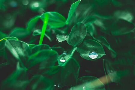 Creative layout of green leaves. Flat lay top view copy space. Nature background pattern concept. Rain water drops on green leaves