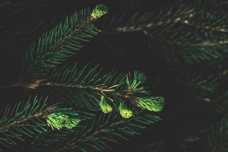 Creative layout of coniferous tree. Flat lay top view copy space. Nature background pattern concept. Wallpaper green texture.