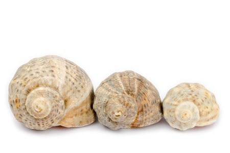 Three shells arranged horizontally on a white background