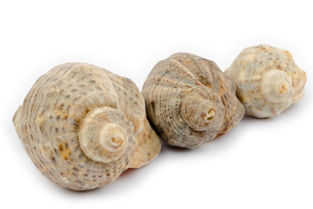 Three shells arranged diagonally on a white background