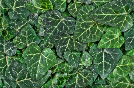 An illustration of dark green ivy leaves
