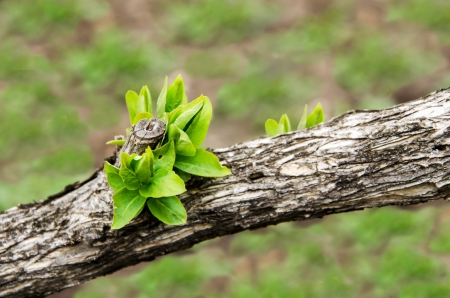 Earliest spring green leaves on an old branch