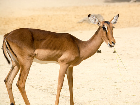 Antelope is a term referring to many even-toed ungulate species indigenous to various regions in Africa and Eurasia