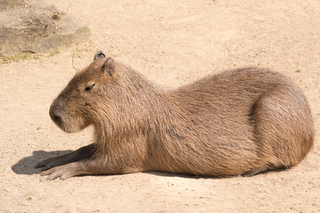the throughout: Capybara is a semi-aquatic mammal found throughout almost all countries of South America