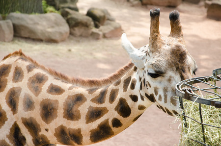terrestrial mammal: The giraffe  Giraffa camelopardalis  is an African even-toed ungulate mammal, the tallest living terrestrial animal and the largest ruminant