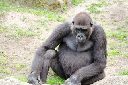 extant: Gorillas are the largest extant genus of primates by size Stock Photo