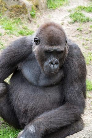 extant: Los gorilas son los m�s grandes del g�nero existentes de primates por tama�o