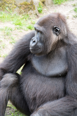 primates: Gorillas are the largest extant genus of primates by size Stock Photo