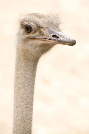 African Common Ostrich Head Shot  Struthio camelus  Stock Photo