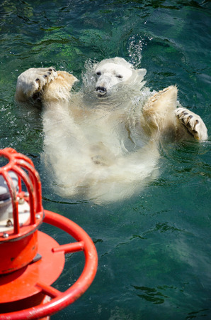 cement pole: The polar bear  Ursus maritimus  is a carnivorous bear whose native range lies largely within the Arctic Circle