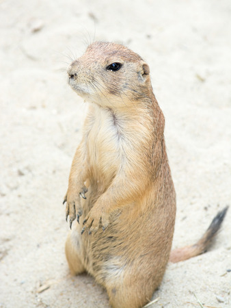 Prairie dogs  genus Cynomys  are burrowing rodents native to the grasslands of North America  Stock Photo