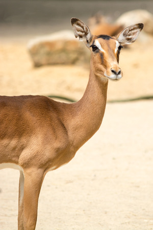 ungulate: Antelope is a term referring to many even-toed ungulate species indigenous to various regions in Africa and Eurasia