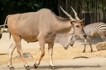 an ungulate: Antelope � un termine che si riferisce a diverse specie di ungulati artiodattili indigene varie regioni in Africa e Eurasia Archivio Fotografico