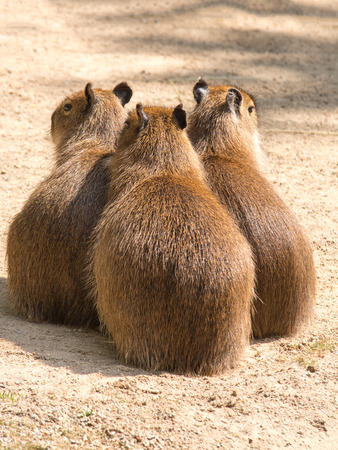 almost all: Capybara is a semi-aquatic mammal found throughout almost all countries of South America