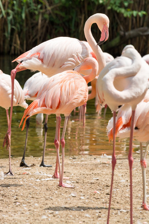 Flamingos standing on one leg, the other leg tucked beneath the body